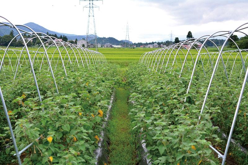 高原ならではの昼夜の寒暖差が、ほおずき栽培にぴったり